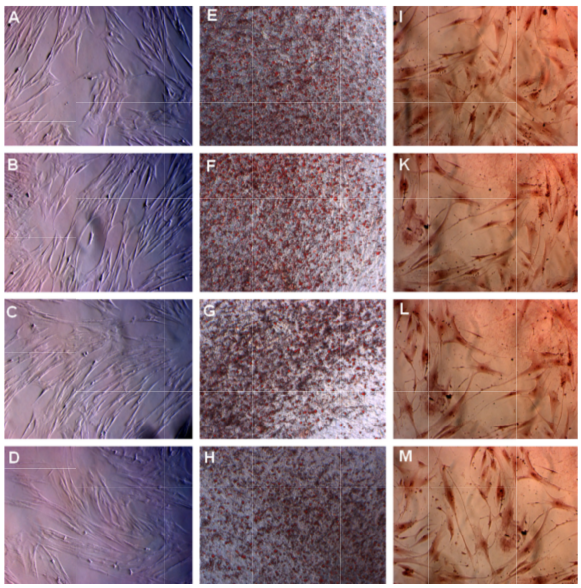 Figure 3 MSC s in the four groups successfully differentiated into adipocytes and osteoblasts in vitro