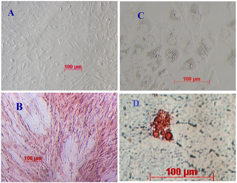 Figure 2 Cell morphology of mADSCs