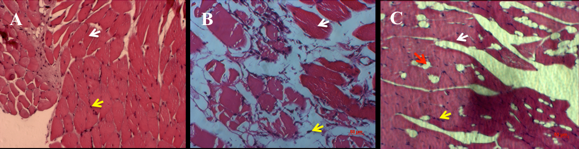 Figure 3 Histological evaluation of muscles